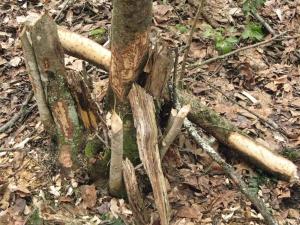 Beaver Cutting 2