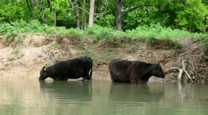Cows on the Shenandoah River