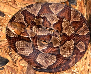 northern_copperhead
