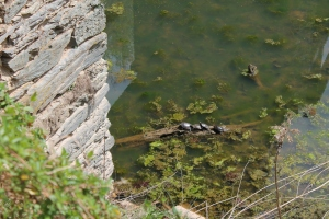 Turtles in the Harpers Ferry Canal