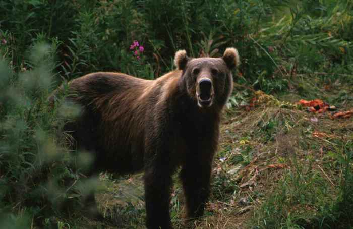 Big_brown_bear_ursus_arctos