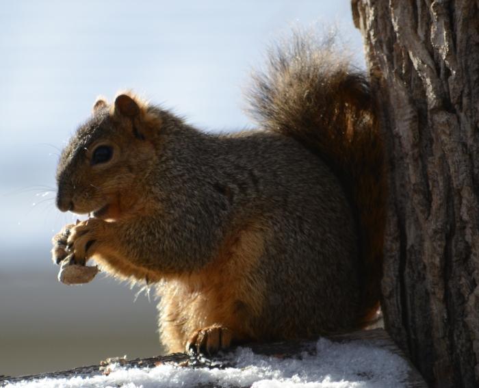 Squirrel_Eating_a_peanut