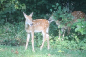 Backyard Deer 3