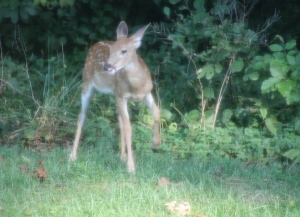 Backyard Deer 4