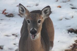 Whitetail Deer 1